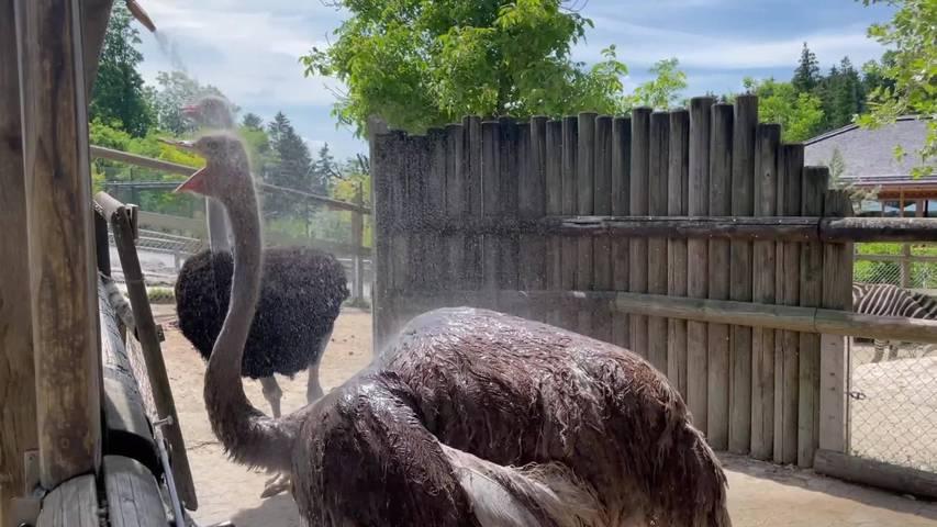 Tierische Abkühlung: Melonen und kalte Duschen im Walter Zoo