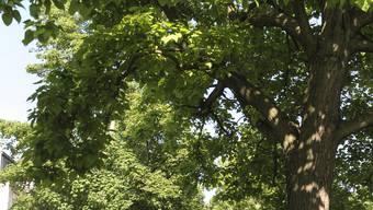 Die Stadtgärtnerei sucht nach Bäumen, die dem wechselnden Klima standhalten können.
