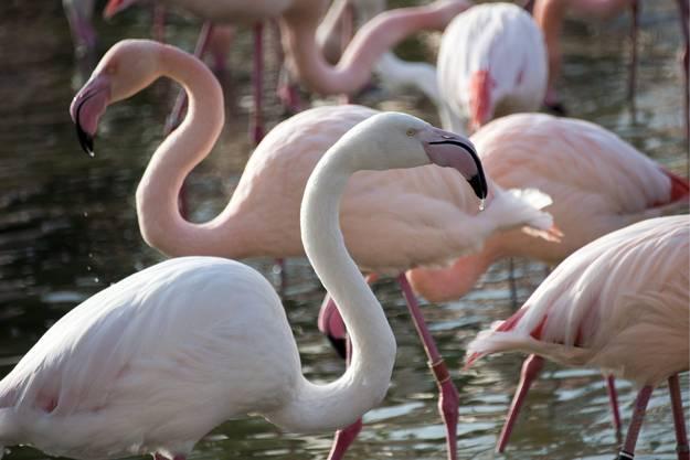 Die Flamingos erhalten spezielles Futter.