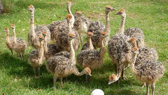 Jungtiere auf Urs Ammanns Hof beäugen ein Straussenei. Nach gut einem Jahr sind sie rund hundert Kilogramm schwer.