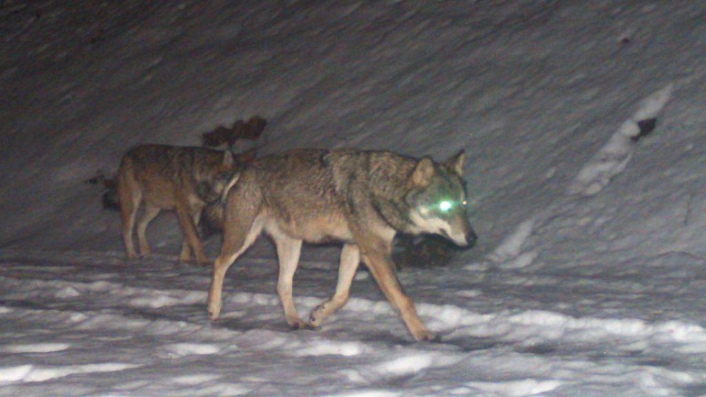 Letzten Februar stellte eine Fotofalle in Filzbach GL zwei Wölfe fest. Die Tiere werden als Eltern der Jungwölfe vermutet.