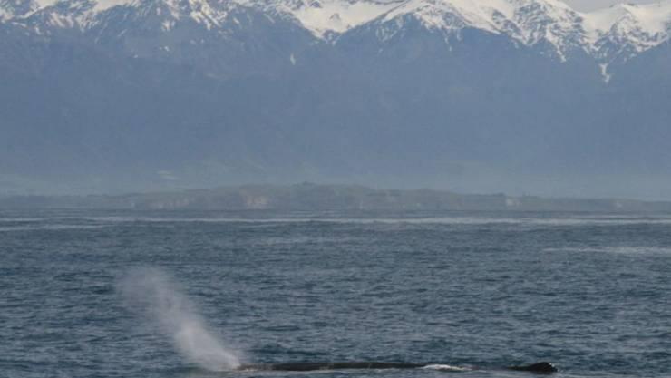 Ein Pottwal vor der Küste Neuseelands: Zwölf dieser Tiere wurden tot im Meer aufgefunden - der Grund ist unbekannt. (Themenbild)