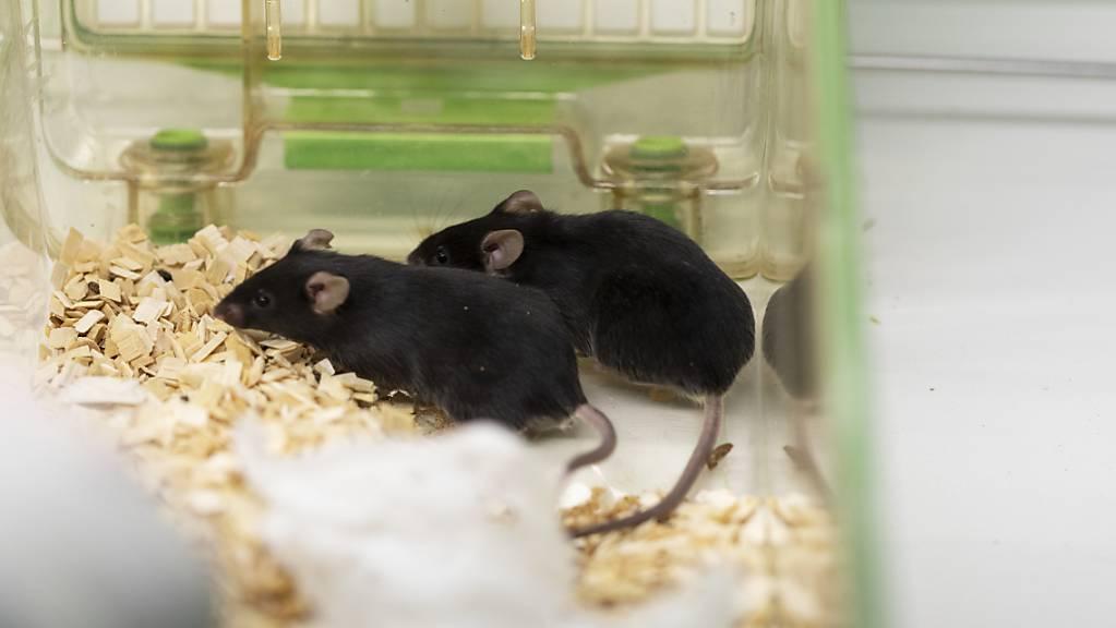 Der Bundesrat möchte weniger Tierversuche in der Schweiz. Die Volksinitiative für eine Verbot lehnt er aber ab. (Archivbild)