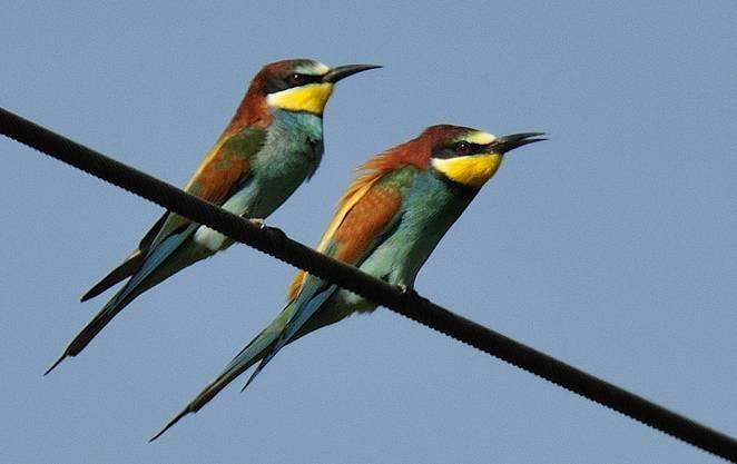 Seit fünf Jahren brütet eine Kolonie Bienenfresser in Kaiserstuhl. Die Papageien-ähnlichen Vögel stammen aus Spanien und haben sich in einer Kiesgrube eingenistet. In Löchern von bis zu 1,5 Metern Tiere fühlen sie sich pudelwohl.
