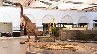 Steht und liegt neu im Zoologischen und Paläontologischen Museum in Zürich: Der in Frick gefundene Plateosaurier und dessen Skelett.