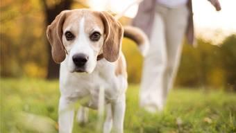 Die Hundehalterin wurde freigesprochen, weil das Gericht Zweifel hat, ob wirklich «Ricky» zugebissen hat. (Symbolbid)