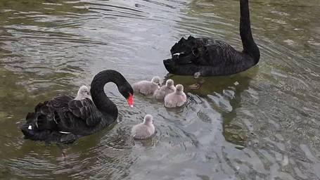 Die schwarzen Schwanen-Eltern mit ihrem Nachwuchs
