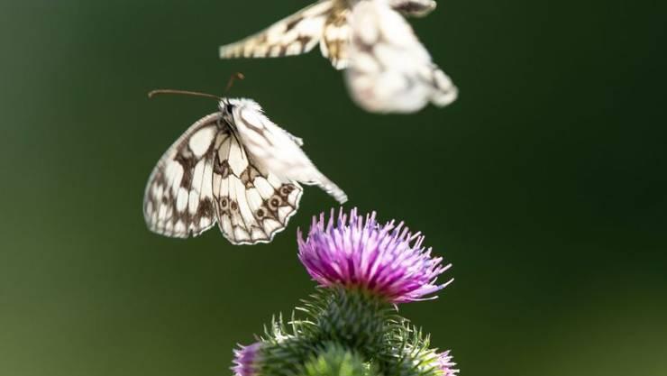 Zwei Schachbrettfalter fliegen über einer Distelblüte. Die Schmetterlingsarten in Mitteleuropa gehen drastisch zurück - ein Indikator für Umweltgefährdung. (Archivbild)