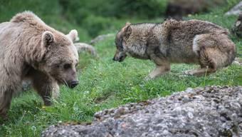 Die Natur- und Umweltschützer wehren sich gegen die Lockerung des Schutzes von Wölfen und Bären. (Symbolbild)
