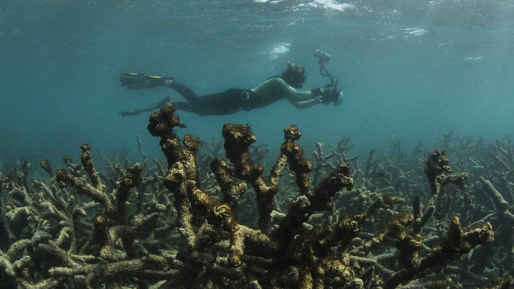 Abgestorbene Korallen im Great Barrier Reef vor Australien. (Archiv)