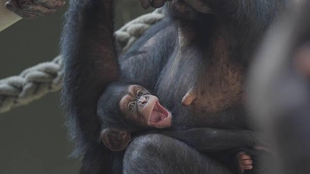 Schimpansenmädchen Ponima im Zoo Basel zur Welt gekommen