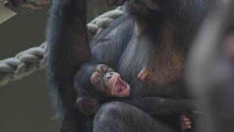 Im Zoo Basel haben die Schimpansen erneut Nachwuchs bekommen: Ende Mai kam Ponima zur Welt. Damit sind in der Basler Schimpansengruppe alle geschlechtsreifen Weibchen Mutter geworden.
