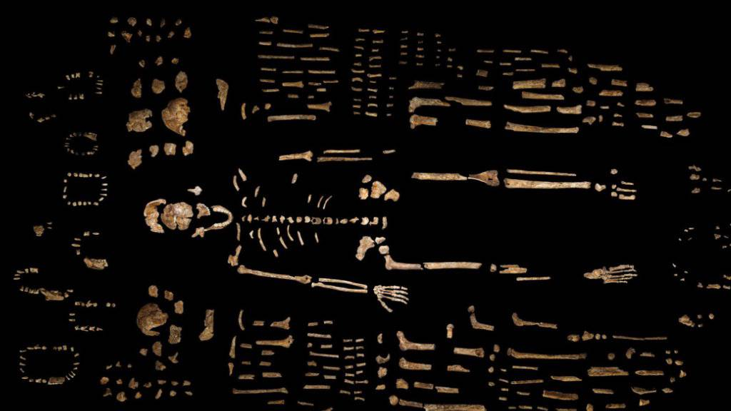 Rund 1500 Fossilien einer bisher unbekannten, Homo naledi benannten Menschenart wurden in einer Höhle in Südafrika gefunden.