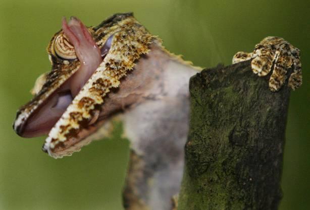 Ein junger Plattschwanzgecko in der Masoala-Halle