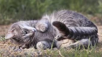 Ein Katzenfreund aus Buchs darf keine Büsis mehr halten. (Archivbild)