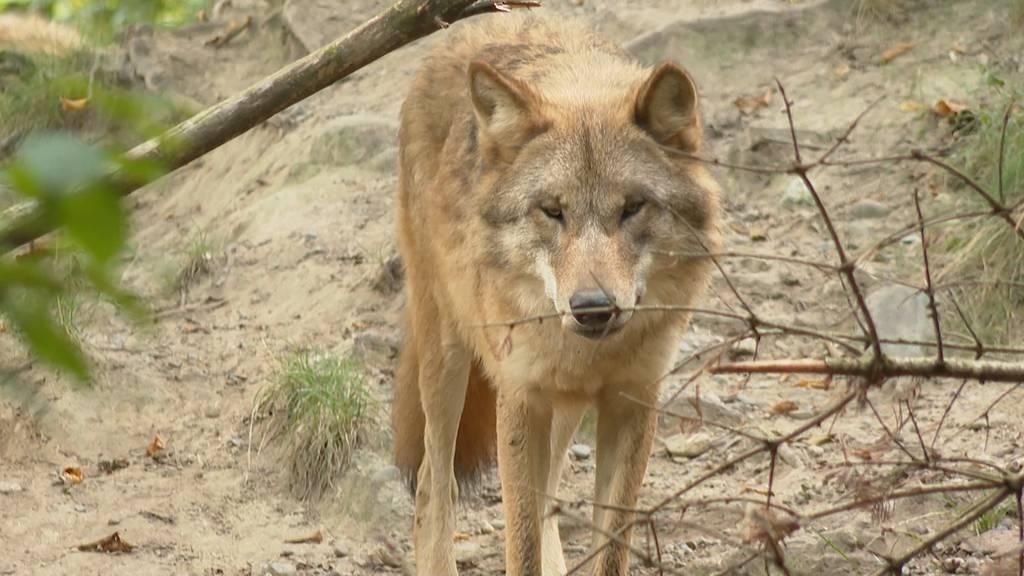 Zoo Zürich sagt «Nein zum neuen Jagdgesetz»: Wolf sei wichtig für Ökosystem und Biodiversität