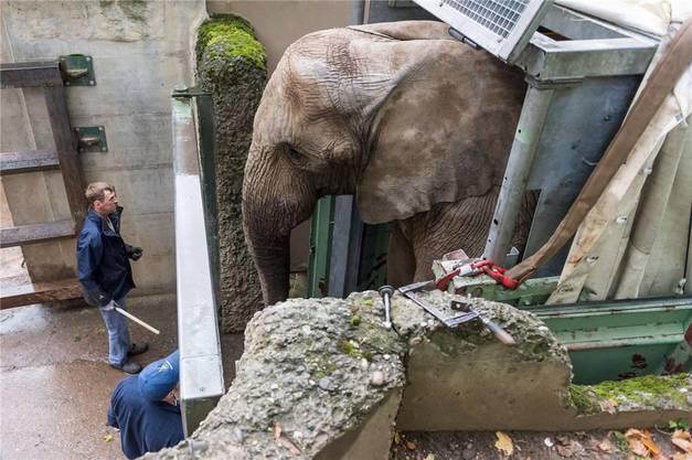 Der 4,6 Tonnen schwere Elefantenbulle Yoga wird vor seinem Abtransport in Richtung Schweden in einen Container geleitet. Zur Eröffnung der neuen Elefantenanlage in drei Jahren kommt Yoga zurück.