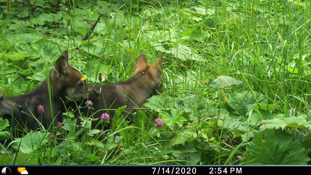 Vier Welpen bei den Wölfen im Wallis