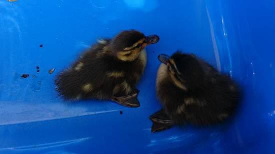 Die Jungenten werden zum Gewässer transportiert.