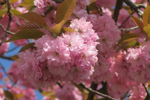 Unter der Frühlingssonne blühte der japanische Kirschbaum auf.