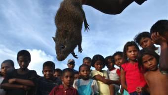 Ratten übertragen die Krankheit in Windeseile (Symbolbild)