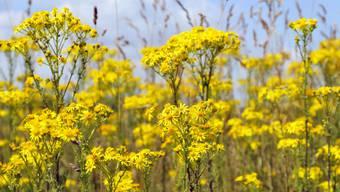 In prächtiger Blüte, aber eine giftige Pflanze ist das Jakobskreuzkraut, das dieses Jahr üppig gedeiht, dennoch.