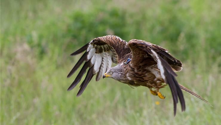 Die Wissenschafter der Vogelwarte Sempach haben 285 junge Rotmilane mit GPS-Sendern ausgestattet. Patrick Scherler