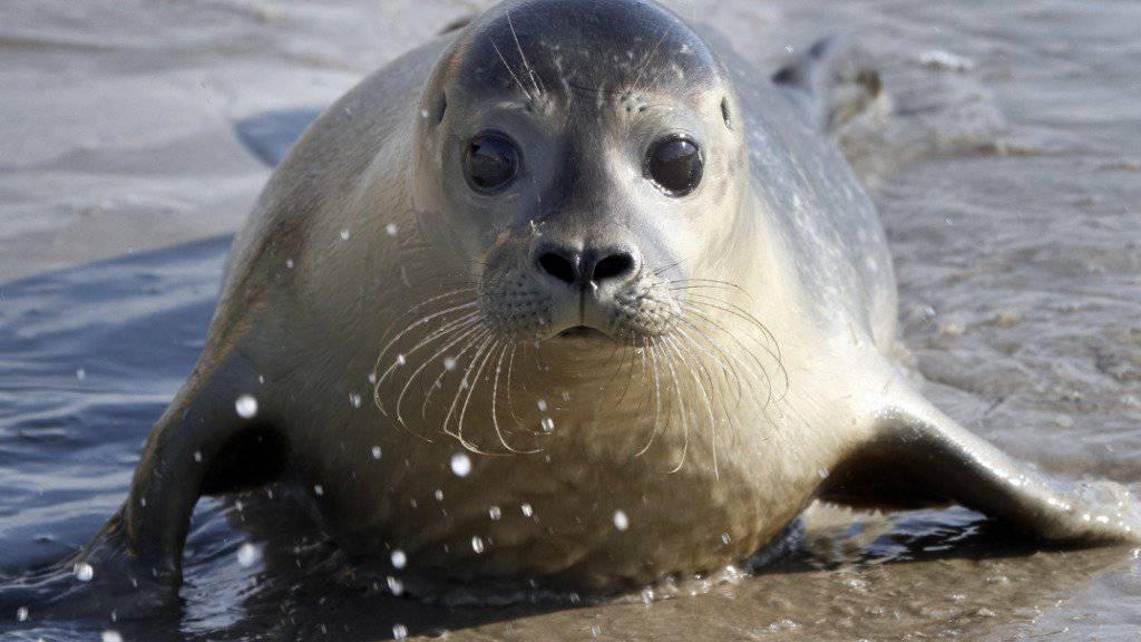 Seehunde, Delfine und Wale rund um Grossbritannien haben Mikroplastik im Bauch. (Archivbild)