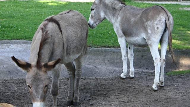 Die beiden Esel dürfen wieder zusammen sein (Archiv)