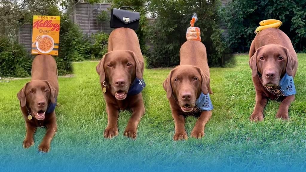 Labrador Ollie geht mit seinem Popöchen viral