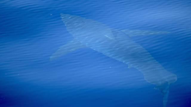 Weisser Hai nahe Mallorca entdeckt
