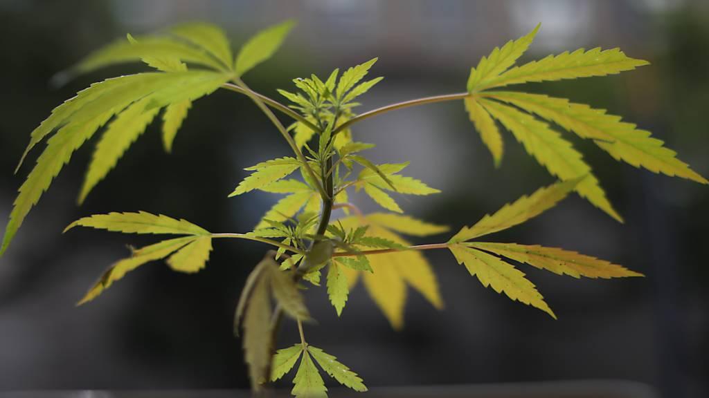 Projekte für Cannabis-Legalisierung und -Regulierung können starten