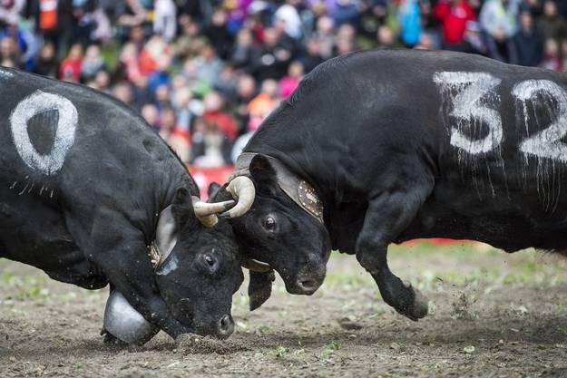 Zwei der 180 Kühe in Aproz.