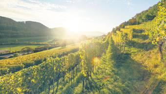 Ein guter Wein hat seinen Ursprung immer in einem sauber gepflegten Rebberg und in einem ausgeglichenen Ökosystem (Bild: Rebflechen bei Hornussen).