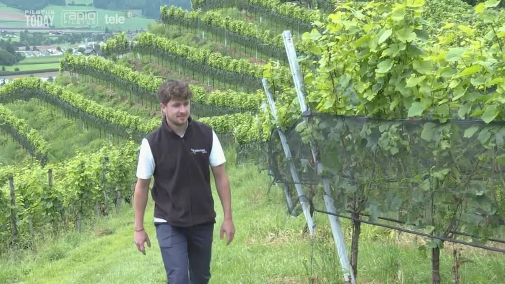 Wird der Zentralschweizer Wein bald knapp?