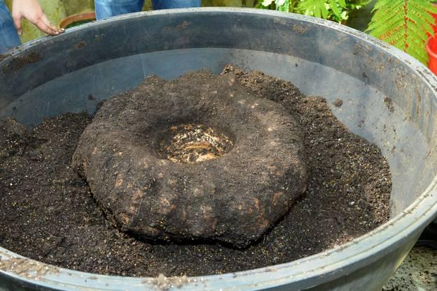 Interessierte können die Riesenknolle vom 4. bis 6. Juli im Botanischen Garten ansehen. Danach wird sie wieder eingetopft.