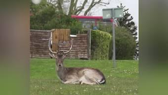 Im Video: Wildtiere erobern die Städte