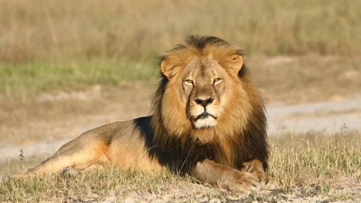 Der 13-jährige Löwe Cecil war der Star des Hwange-Nationalparks (Archiv).