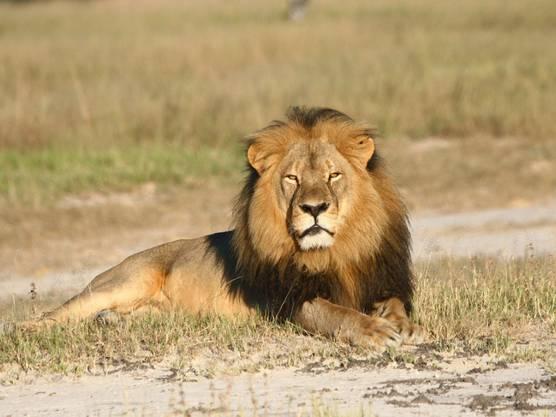 Der 13-jährige Cecil war ein Star im Hwange-Nationalpark in Simbabwe.