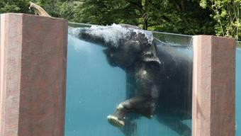 Strampeln und rüsseln: asiatische Elefanten beim Planschen.