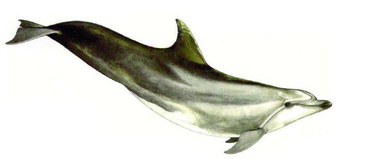 Bekannt ist der Grosse Tümmler aus der Fernsehserie Flipper oder den Delfinarien. Im Mittelmeer leben die Tiere in Gruppen von 7 bis 15 Artgenossen. Die Grösse der dortigen Population ist allerdings unbekannt. Überfischung, Fischernetze und Verschmutzung bedrohen die Tiere.