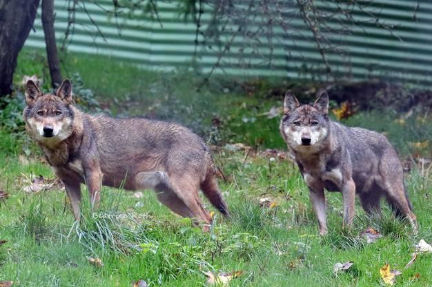 Die Wölfe in ihrem Gehege