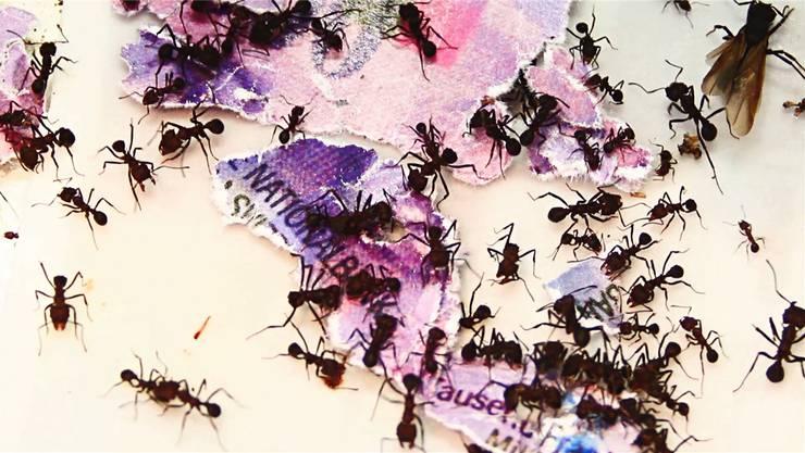 Ameisen zerlegen eine Tausendernote, im Volksmund ein Ameisi. Videokünstlerin Ursula Palla hat damit eine Bilderfabel geschaffen.Kunsthaus Baden