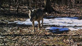 Das erste Bild, das von einem Wolf im Aargau geschossen wurde.