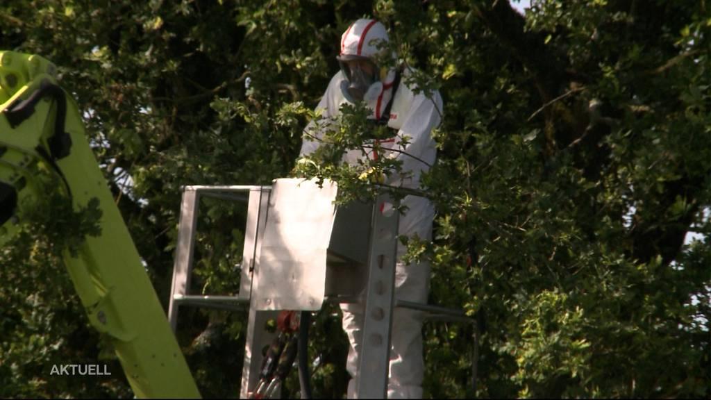 Giftige Raupen machen in Lenzburg den Schutzanzug notwendig