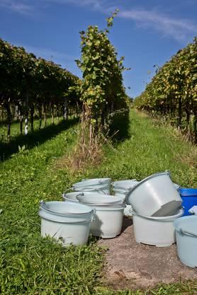 Zahlreiche Kübel warten darauf, mit Trauben gefüllt zu werden