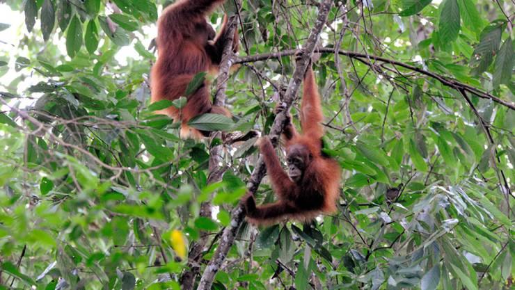 Sumatra-Orang-Utans im Gunung Leuser Nationalpark in Indonesien.