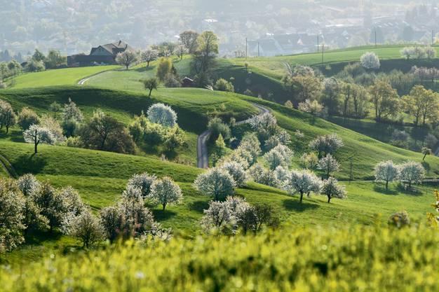 Leserin Marlies Blaettler weiss: Jetzt ist Kirschblüten-Zeit! Auf dem Fricktaler Chriesiweg lassen sich die Bäume in ihrer vollen Blütenpracht bewundern. Die familienfreundliche Wanderroute finden Sie in Gipf-Oberfrick.
