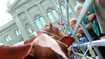 Begehrtes Vieh: Die Kühe zogen gestern viel Aufmerksamkeit auf sich.