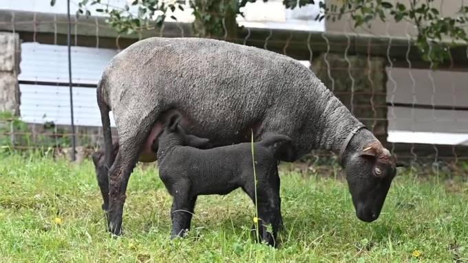 """Seit nunmehr 10 Jahren hält die Oltner Biologin Gabriela Schenker Schafe, mit denen sie nach einer Versuchsphase im 2016 verschiedene Grünflächen in Olten beweidet. Die """"Stadtschafe Olten"""" sind derzeit gerade auf der Wiese unterhalb des Frohheim-Schulhaus beim Zehnderweg. Bereits zwei der insgesamt sieben Auen haben in den letzten Tagen schon insgesamt drei Lämmer auf die Welt gebraucht; Gabriela Schenker rechnet für dieses Jahr insgesamt mit bis zu 12 Jungtieren, die allesamt in den nächsten Tagen und vorab Nächten noch das Licht der Welt erblicken werden."""